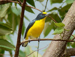 Title: Yellow-throated Euphonia -male-