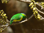 Title: Golden-browed Chlorophonia -male-