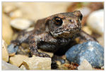 Title: Bufo bufo in the rocks