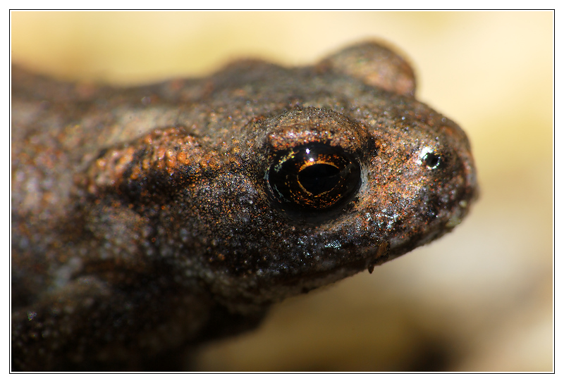 Portrait of a young Common Toad