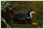 Title: Young fulica atra
