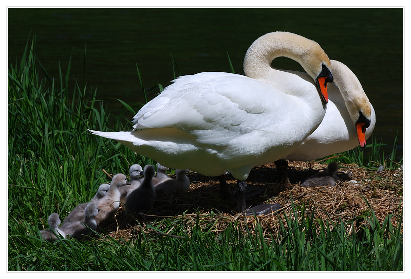 Two Swans and nine little babies