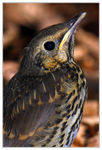 Title: Portrait of a young Song Thrush