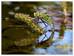Title: Anax imperator during oviposition
