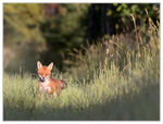Title: Red fox looking at the camera