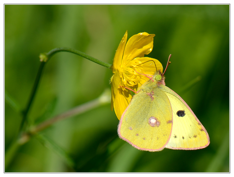 Colias hyale  male