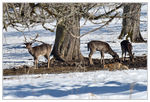 Title: Young fallow deers and a passing foxNikon D 800E