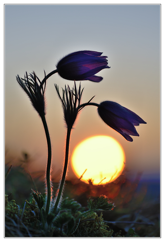 Pasque flowers in the sunset