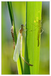 Title: Newly emerged damselfly