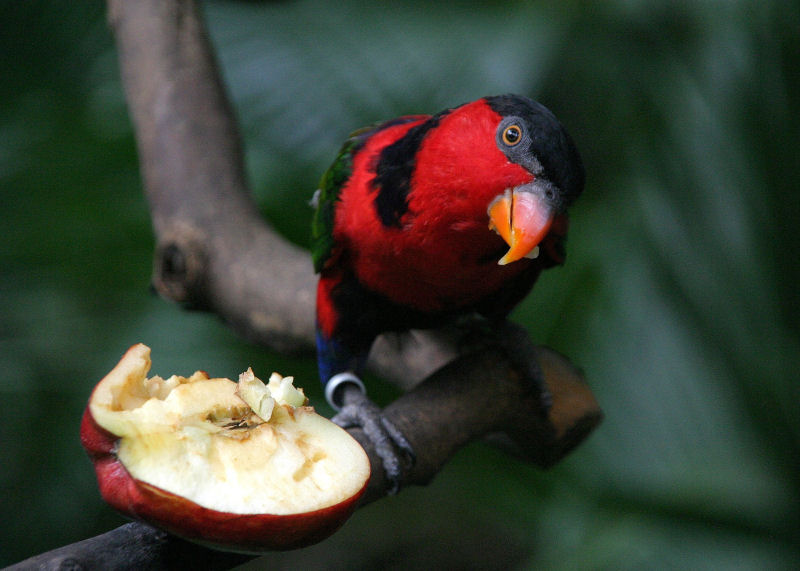 Black Capped Lory 1