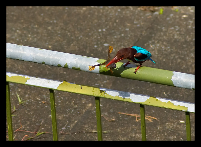 Kingfisher with Frog