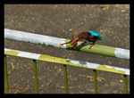 Title: Kingfisher with Frog