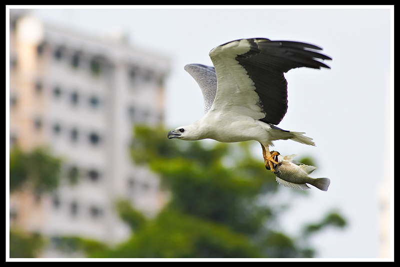 White-Bellied Sea Eagle with catch