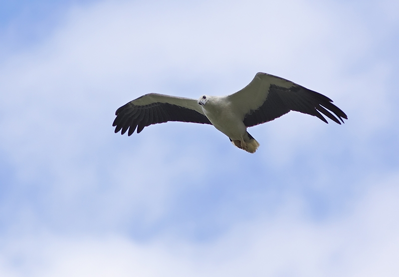 White Bellied Sea Eagle (curious?)