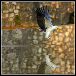 Title: White-Bellied Sea Eagle Fishing