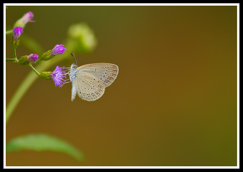 Common Butterfly