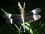 Title: The Pied Paddy Skimmer.