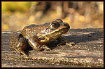 Title: Frog on a Log - Lake MacDonald, Montana