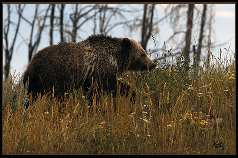 Grizzly - Yellowstone NP - USA