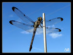 Title: DragonflyOlympus Stylus 1010 10MP Digit
