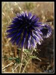 Title: Echinops thistle