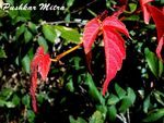 Title: Red Leaf
