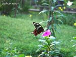 Title: Crimson Rose swallowtail butterfly