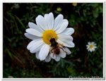 Title: Flower and HoverflyKodak Easyshare C190