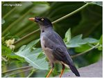 Title: Jungle Myna