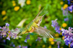Title: Humming Bird