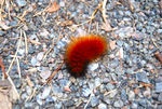Title: Woolly Bear