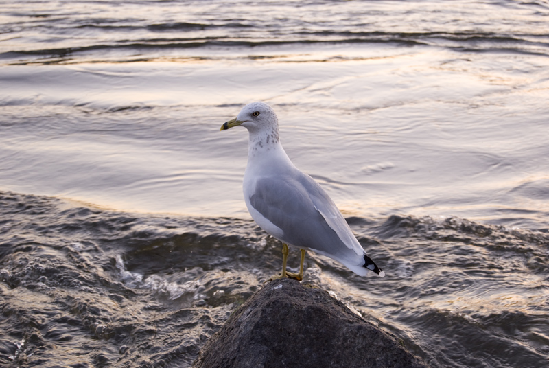 rind-billed gull