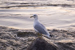 Title: rind-billed gull