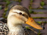 Title: a nice duck