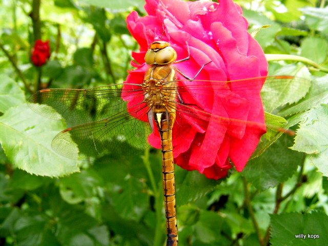rose with dragon-fly