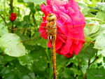 Title: rose with dragon-fly