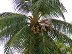 Title: Coconut Tree