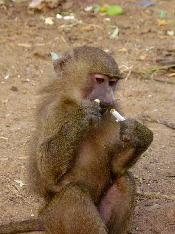 Non Smoking Monkey ?