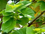 Title: Avocado leaves