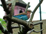 Title: Lilac Breasted Roller Bird
