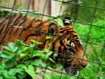 Title: Angry Tiger at London Zoo