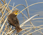 Title: Female Yellow-headed Blackbird