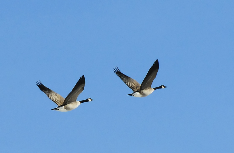 Canada Geese Heading North