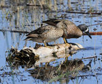 Title: Blue-winged Teals