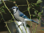 Title: Blue Jay in a Rose Bush