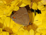 Title: White M Hairstreak