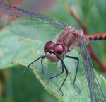 Title: Close-up of Ruby Meadowhawk