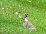 Title: White-tailed Jackrabbit