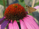 Title: Skipper on Coneflower
