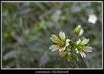 Title: common chickweed